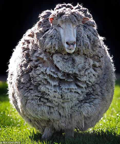 Rouge Sheep